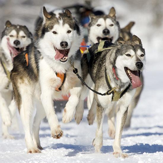 Cani da slitta corrono nella neve